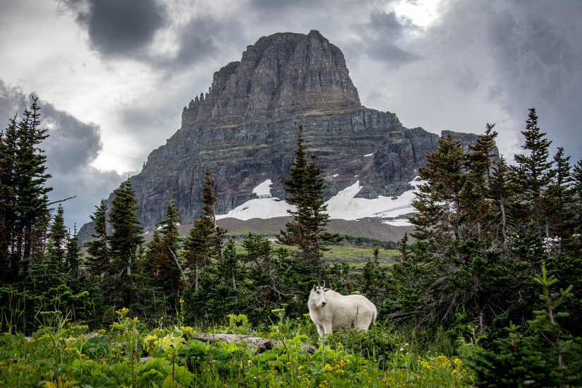 Going-To-The-Sun, Logan Pass - Mountain Goat