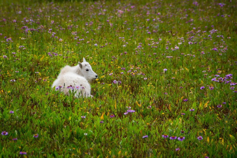 Logan Pass - Baby Mountain Goat In A Pasture